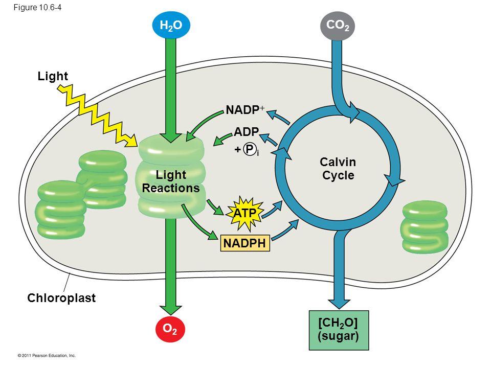 Calvin Cycle Light Reactions [CH2O] (sugar)